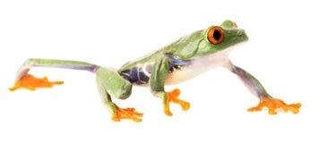 Rampement observé par rouge de grenouille d'arbre d'isolement sur le blanc Photographie stock libre de droits