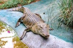Rampements de crocodile photos libres de droits