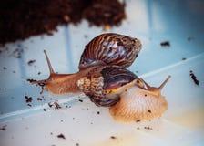Rampements vivants d'escargot de snailBig en plein air image libre de droits