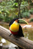 Ramphastos dicolorus. Toucan Ramphastos dicolorus on a log in the park of birds in Brazil Royalty Free Stock Photography