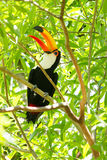 Ramphastos toco toco. Close-up of the toco toucan Ramphastos toco toco in the forest with trees in the background Stock Photo