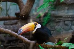 Ramphastos toco at the zoo. Ramphastos toco sits on a branch in a zoo stock photography