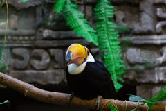 Ramphastos toco at the zoo. Ramphastos toco sits on a branch in a zoo stock photo