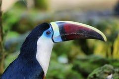 Ramphastos tucanus in a zoo. Ramphastos tucanus closeup portrait in Spain stock image