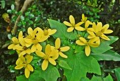 Rampicante color giallo canarino immagini stock libere da diritti