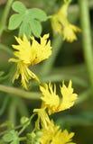 Rampicante color giallo canarino immagine stock libera da diritti