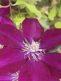 Rampicante con il bello fiore porpora Immagine Stock Libera da Diritti