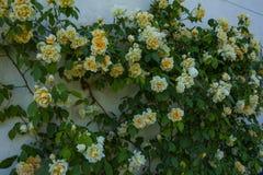 Rampicante delle rose gialle e bianche Rosa in piena fioritura fotografia stock libera da diritti