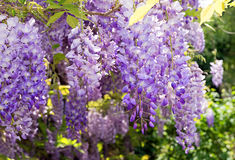 Rampicante di fioritura di glicine Fotografia Stock