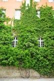 Rampicante verde Immagini Stock