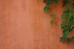 Rampicante verde sulla parete arancio pallida Fotografia Stock Libera da Diritti