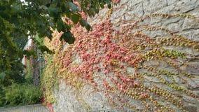 Rampicanti dei colori di autunno immagini stock libere da diritti