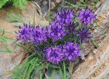 Rampion di Rhaetian in fioritura (hedraianthifolium di Phyteuma) Immagine Stock Libera da Diritti