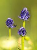 Rampion a testa tonda (orbiculare di Phyteuma) con l'insetto Fotografie Stock