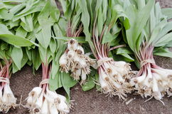 Ramps. Wild onions native to Eastern Canada and United States are considered a rare delicacy. They are considered a threatened species in parts of their range Royalty Free Stock Photos