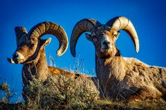 Rams against blue skies Stock Image