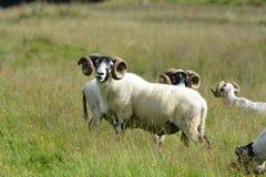 RAMs, die das Frühlingsgras genießen Stockfotografie