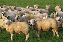 Rams and ewes. A pair of rams standing in front of a flock of ewes in a green grass field at mating time Stock Images