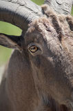 Rams eye stock photography