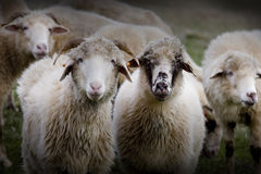 Rams on the field Stock Photography