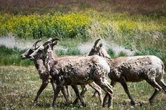Rams in a Field. Of Flowers stock photo