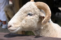 Rams head. The head of a ram at a petting zoo Stock Photography