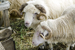 Rams with horns Royalty Free Stock Photography