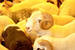 Ram herd at livestock market Royalty Free Stock Photo