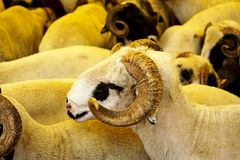 Ram herd at livestock market Royalty Free Stock Photography