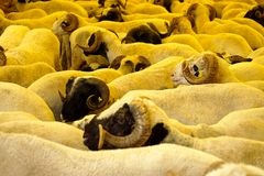 Ram herd at livestock market Royalty Free Stock Photography