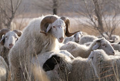 Rams mating. The rams mating in sheep stock image