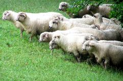 Rams and sheeps. Flock of rams and sheeps on a meadow Royalty Free Stock Photography