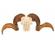 Rams Skull With Full Curl Horns Stock Photo