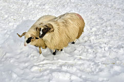 Rams in the snow. Two purebred domestic fleecy rams in the snow Royalty Free Stock Photography