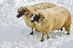Rams in the snow. Two purebred domestic fleecy ram in the snow Royalty Free Stock Photography