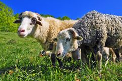A rams on a summer pasture Stock Photos