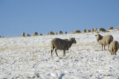 Rams in the winter Stock Images