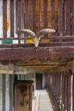 Ramschädel auf der Hausmauer Lizenzfreies Stockfoto