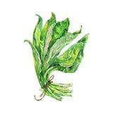 绘画ramson 手拉的被隔绝的新鲜的绿叶 库存例证