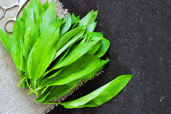 Ramson bear garlic bunch tied with rope on dark black background Royalty Free Stock Image