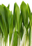 Ramson bunch vegetable Royalty Free Stock Images