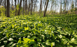 Ramson field in the forest Royalty Free Stock Image