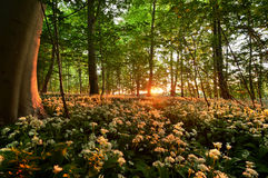 Ramson. In the forest at sunrise Royalty Free Stock Images