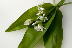 Ramson leaves and blossoms Royalty Free Stock Photos