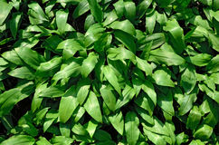 Ramson or wild garlic (lat. allium ursinum) Royalty Free Stock Photo