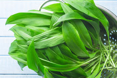 Ramson or wild garlic leaves. In colander on kitchen table. Top view Stock Image