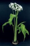 Ramson or wild garlic Stock Images