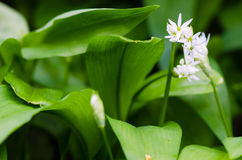 Ramsons (葱属ursinum)叶子和花 免版税库存照片
