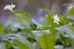 Ramsons (葱属ursinum) 库存照片