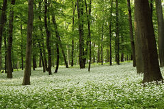 Ramsons (Allium ursinum). In a green forest with logs brown in spring on brae Stock Photos